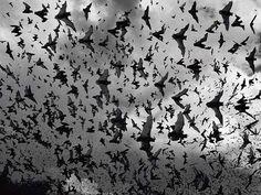 ALL NATURAL BATS 100% NATURAL HUMAN-BLOOD FED BATS