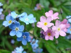 """DIVAGAR SOBRE TUDO UM POUCO: Miosótis ✿ """"Não te esqueças de mim"""" ✿ """"Forget-me-not"""" Esta planta originária da Rússia, possui pequenas flores azuis, flores brancas e flores rosadas presentes durante as primaveras dos mais belos jardins do planeta. De porte pequeno a rastejante, com cerca de 20-30 cm de altura, com caules muito ramificados de cor verde claro a azulado. Apresenta folhas basais, pequenas, delicadas, lanceoladas a ovaladas, pubescentes de cor verde a verde azulado."""