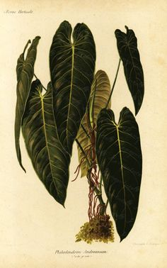 Your place to buy and sell all things handmade Patio Plants, Indoor Plants, Antique Prints, Vintage Prints, Botanical Illustration, Botanical Prints, Plant Sketches, Plant Tattoo, Foliage Plants