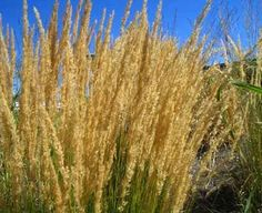 Ornamental grasses come in more than 100 varieties and have many functions in a well-designed garden. Learn how to grow and use ornamental grasses.