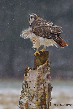 Red Tailed Hawk (photo by Malcolm Benn)