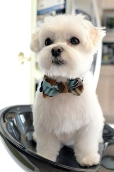 Mochi the Maltese - Tap the pin for the most adorable pawtastic fur baby apparel. - Mochi the Maltese – Tap the pin for the most adorable pawtastic fur baby apparel! Maltese Haircut, Puppy Haircut, Fluffy Animals, Cute Baby Animals, Small Dog Breeds, Small Dogs, Toy Dog Breeds, Baby Dogs, Pet Dogs