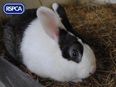 Mr Darcy, Rabbit, 1 Year, South Yorkshire Animal Centre Mr Darcy, South Yorkshire, Pet Search, Sadie, Rabbits, 1 Year, Centre, Adoption, Best Friends