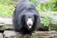 They have sloth bears at the National Zoo . I searched for this on bing.com/images