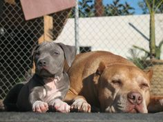"""""""Daddy"""" & """"Junior"""" Caesar Milan's dogs from The Dog Whisperer"""