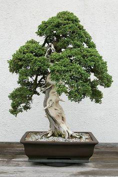 Dwarf Japanese Juniper (Juniperus procumbens) 'Nana' | Flickr - Photo Sharing!