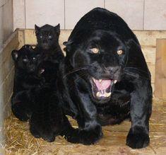 black cat pantero felinos