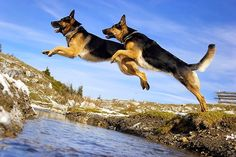 German Shepherd Military Dogs | The German Shepherd was originally developed for herding and guarding ...