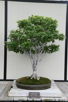 ~ Japanese Zelkova Bonsai ~