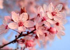 Flor-de-Cerejeira Mais