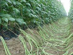 Огородным мясом не зря называют фасоль. В ней много белка и микроэлементов, которые делают ее незаменимой в рационе каждого, кто предпочитает правильное, здоровое питание.Род вигна (Vigna unguiculata)…