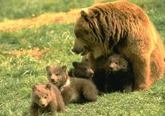 Four little grizzly baby's