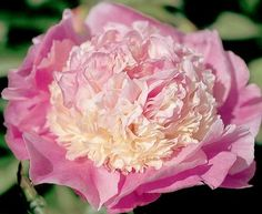 """-PEONY--'She's My Star'  Size: 28"""" Mid  Warm, multicolored pink and cream bomb blossoms with tightly packed petals. The double row of round, large guard petals nicely hold the flower form. The blossom top matches the delicate color of the guards. Slightly fragrant."""