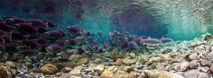 Amazing Drone Footage Captures Bird's-Eye View of Sockeye Salmon Run in Alaska - My Modern Met
