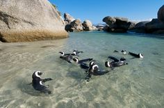Photo about Colony of penguins swimming in ocean pool at Boulders Beach near Cape Town. Image of ocean, cape, africa - 19435668 Visit South Africa, Cape Town South Africa, Places To Travel, Places To Visit, Travel Destinations, South Afrika, Boulder Beach, Le Cap, Wale