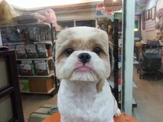 Dogs With Perfectly Square Or Round Haircuts Is The New Trend In Taiwan - Are you looking to give your dog a cutting edge haircut? If so, you might be interested in the latest trend in Taiwan, which looks just as hilarious as it sounds. Dogs are getting perfectly square or round haircuts to highlight their uber adorable faces.Poodles are one of the most common breeds...
