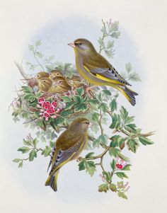 Image: John Gould - Greenfinch, 1873 (w/c, pencil on