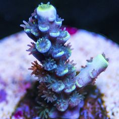 My Reef to Yours - Live Coral Frags Coral Frags, Live Coral, Acro, Exotic Flowers, Plants, Plant, Planets