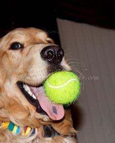 Golden Retriever with bright green tennis ball in mouth, showing it to the camera -- big ham
