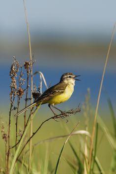 Birds 2, Love Birds, Beautiful Birds, Yellow Wagtail, Little Birds, Bird Watching, Bird Feeders, Natural Beauty, Europe