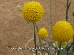 Bringing You The Best In Australian Plants And Gardening Rare Flowers, Beautiful Flowers, Small Shrubs, Australian Plants, Light Shades, Mother Nature, Perennials, Flora, Home And Garden
