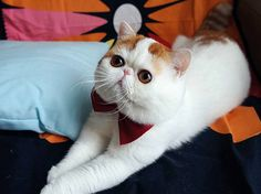 50 Cute Pictures of Snoopy the Cat - Cutest Paw Snoopy Cat, Animal Pictures, Cute Pictures, Flat Faced Cat, Exotic Shorthair, Kitten Meowing, Little Kitty, Love Pet, Grumpy Cat