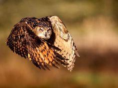 - Eagle Owl