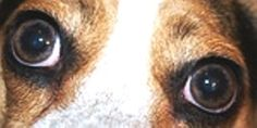 Common eye problems seen in dogs are conjunctivitis or pink eye, cherry eye and eye infections.  Learn what each one is and how to treat it.