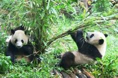 the giant pandas of wolong - Google Search 500 Places