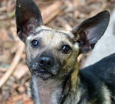 Lil' Abner is a young male Chihuahua/ Mexican Hairless mix. He is a speedy boy who loves his treats!