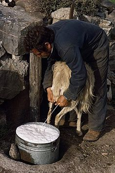 Shepherd milking sheep for cheese, island of Crete, Greece, Europe Santorini, Mykonos, Crete Island, Greece Islands, Greece Pictures, Old Pictures, Zorba The Greek, Vintage Italy, Minoan