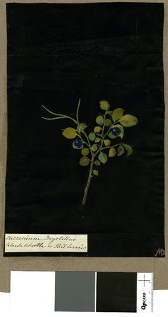 Vaccinium Myrtillus, from an album (Vol.IX, 68); Black Whortle or Bilberries. 1776 Collage of coloured papers, with bodycolour and watercolour, on black ink background, Mary Delany (1700-1788)