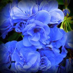 'Rose Blue' Geranium