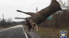 A deer in Kentucky, US appeared to have a remarkable escape after it collided with a police cruiser on 29 November.