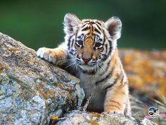 Indian Tiger Cub