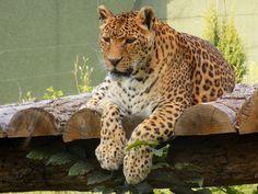 Serious leopard :>