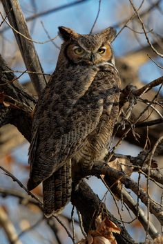 Great Horned Owl by dcstep**