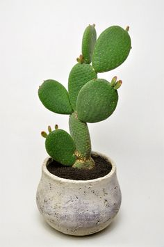 Cactus Is Which Type Of Plant? To understand what type of plant the cactus is