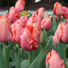 Best perennial tulip and best tulip for cutting! Up to diameter flower when open. Tulip Apricot Impression has a tall and sturdy stem supporting a perfect shaped flower. The flower is apricot-orange with a yellow edge. Spring Plants, Spring Bulbs, Garden Bulbs, Planting Bulbs, Best Perennials, Anniversary Flowers, Tulip Bulbs, Backyard Plants, Special Flowers
