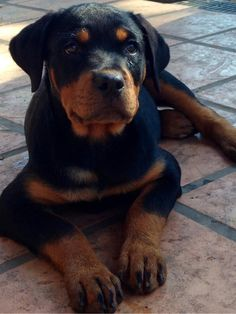 <3 Black Dog Syndrome, Cute Puppies, Cute Dogs, Cutest Puppy Ever, Rottweiler Puppies, Dog Quotes, Mans Best Friend, Animals Beautiful, Puppy Love
