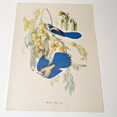Audubon Bird Print For Framing Florida Jay Scrub Jay Print 1940's Birds of America by treasurecoveally on Etsy