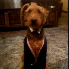 Handsome Airedale terrier lawyer