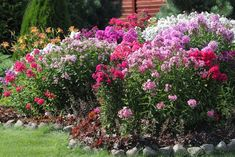 With hundreds of hardy, herbaceous perennials flowers which will grow in our gardens, some require considerable maintenance [DETAILS] Herbaceous Perennials, Flowers Perennials, Tall Phlox, September Flowers, Planting Plan, Colorful Garden, Colorful Flowers, Types Of Flowers, Cristiano
