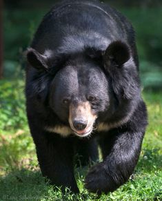 The Asiatic Black Bear also known as a moon bear for the white marking that resembles a crescent moon ranges from India and Southeast Asia to Russia, Korea, and Japan. Cute Wild Animals, Black Animals, Large Animals, Asian Black Bear, Most Beautiful Animals, Beautiful Creatures, American Black Bear, Moon Bear, Dangerous Animals