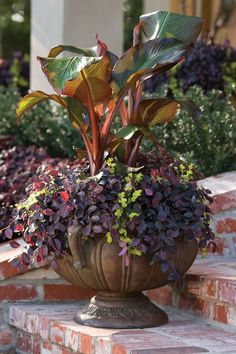 Add unique color and form to containers, window boxes or hanging baskets with this Southern Living Plant Collection Purple Pixie Loropetalum. Summer Hydrangeas, Southern Living Plant Collection, Flower Pots, Plants, Container Plants, Plant Collection, Purple Pixie Loropetalum, Southern Living Plants, Fragrant Flowers