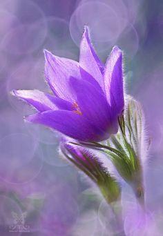 ~~Beauty of Spring | Pulsatilla, Pasque flower | by Jasna Matz~~