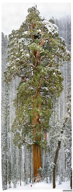 The President, Sequoia National Park, California - the 3,200 years old President is the second most massive tree ever measured. It's 27 feet wide at the bottom and 247 feet tall.