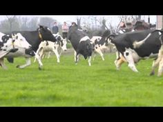 """Cows feel pure joy in the earth """"Dance of the cows: Cows going outside for the first time after the long winter period . Farm Animals, Funny Animals, Cute Animals, Wow Video, All Gods Creatures, Go Outside, Farm Life, Country Girls, Cattle"""