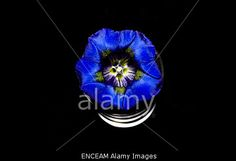 #Close-Up Of #Gentian In #Glass On #Black #Background @alamy #alamy #spring #flowers #flowerpower #concept #blue #color #colorful #stock #photo #portfolio #download #hires #royaltyfree
