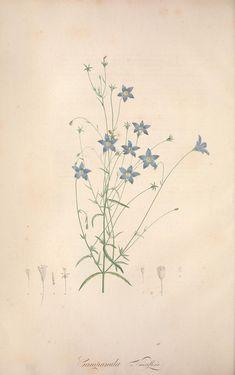 Campanula Vincaflora ~ Jardin de la Malmaison, 1803 - 1804.